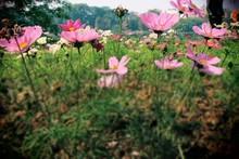 Pink Wildflowers In Meadow