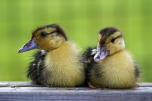 Close-up View Of Ducklings