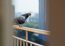 Pigeon (Dove) Sitting On The Balcony On Urban Skyline Background. A Lot Of Space For Text. Copy Space. Modern City Concept