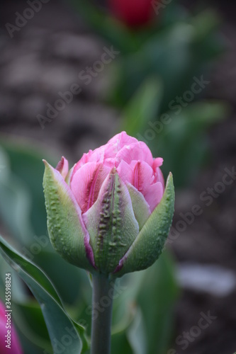 Photo Beautiful peony-shaped tulip variety Aveyron grows in the open air