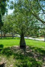 Drzewo W Australii