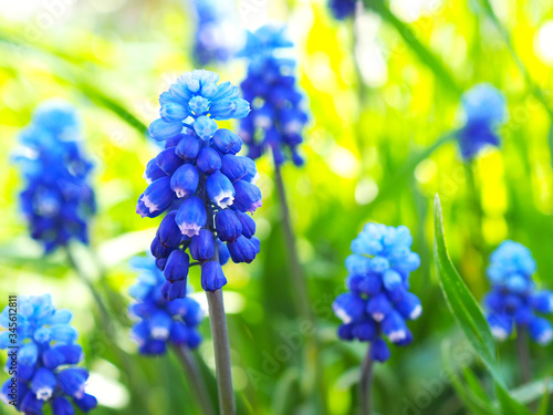 Blooming mouse hyacinth on the background of bright sunlit green grass close up Wallpaper Mural