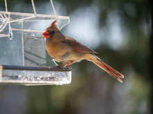 Cardinal Near Bird Feeder