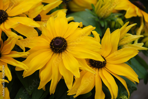 Yellow black-eyed susans, Rudbeckia hirta, flowering in a summer garden Tablou Canvas