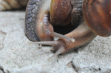 Close-up Of Snails Mating On Field