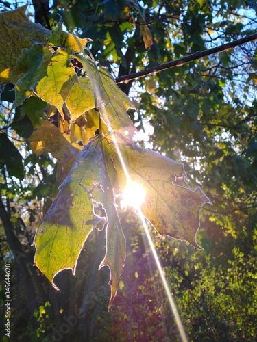 Mała gałązka  liści, zza których połyskuje słońce. Fototapeta