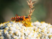 Assassin Bug (Rhynocoris Iracundus) With Prey