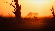 Majestic Red Lechwe Antelopes ...