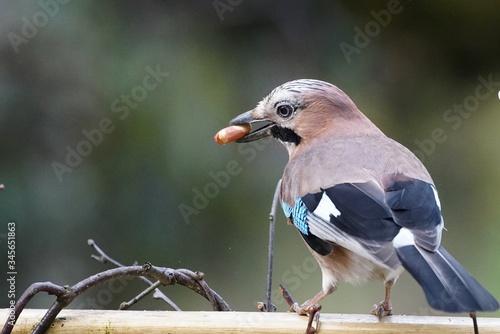 Fototapeta Close-up Of Eurasian Jay Perching On Branch