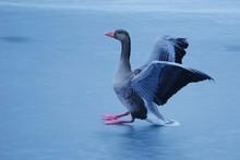 Close-up Of Greylag Goose On Frozen Lake