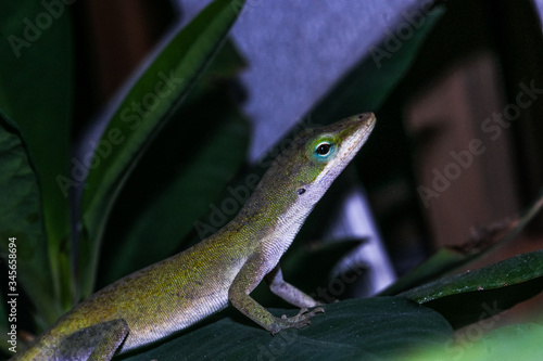 Close-up Of Anole On Plant At Night Canvas Print