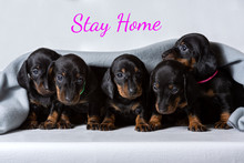 Five Small Dachshund Puppies A...