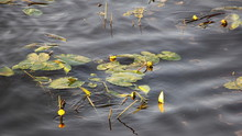 Beautiful Blooming White-yellow Water Lilies With Large Green Leaves In Summer On The Water, Ecological Nature