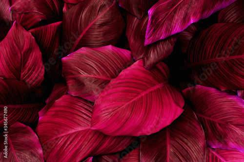 Wall mural - leaves of Spathiphyllum cannifolium, abstract purple texture, nature background, tropical leaf