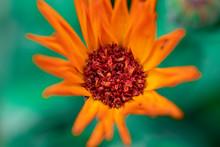 Close Up Of Yellow Daisy Gerbe...