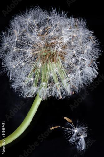 Fototapety, obrazy: Dandelion details close up in black background