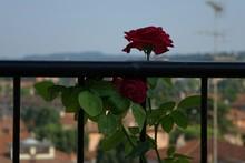 Close-up Of Red Rose Flower Gr...