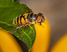 A Hover Fly Poses On A Leaf In A Pennsylvania Meadow