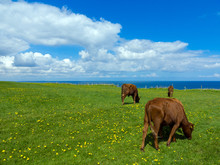 Cows Grazing On A Pasture With...