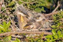 Nest Full Of Great Blue Heron ...