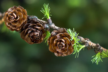 Larch Branch With Cones And Yo...
