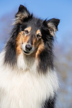 Portrait Of A Collie