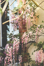 Pink Wisteria Flowers On A House