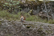 A Squirrel Sits On A Rock And ...