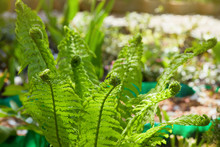 Young Green Shoots Of Ferns (P...