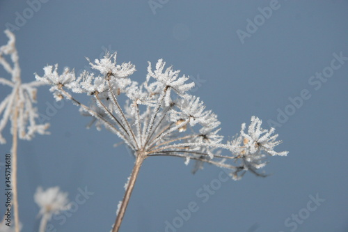 Snowflakes on a hogweed plant. Canvas Print