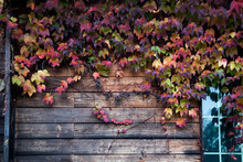 Creeper On Wooden Wall During Autumn