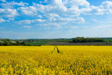 Yellow Flowering Rapeseed Field In Sunny Weather With Blue Sky And Clouds In The Background And With Forest In The Background