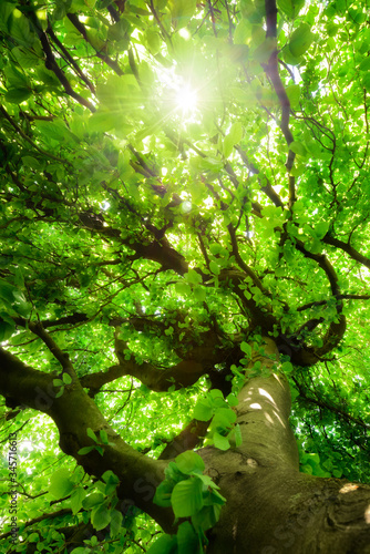 Okleiny na drzwi - Lasy - Drzewa  worms-eye-view-of-a-green-beech-tree-with-beautiful-crooked-branches-vibrant-foliage-and-the