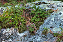 Ferns And Moss Growing Off The Rock At Devil's Lake State Park, Baraboo, Wisconsin In Early April.