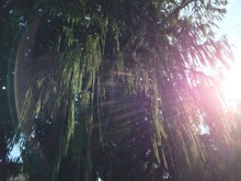 Low Angle View Of Sunlight Streaming Through Willow Tree