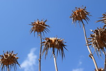 Low Angle View Of Dry Thistles...