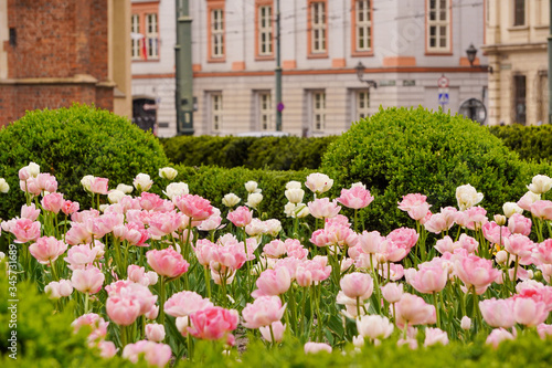 Obraz na plátne Meadow or field of pale pink tulips on blurred background of old city