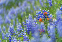 Purple Lupine Blooming In The ...