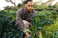 Farmer Picking Fresh Organic K...
