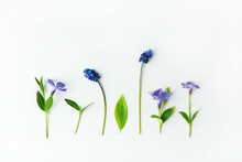Minilmal Flower Organized Background. Blue Muscari Flowers, Periwinkles And Green Leaves In A Row. Flat Lay, Top View..
