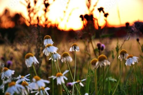 Billede på lærred Close-up Of Daisies Growing On Field