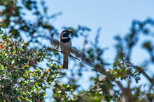 Cape Sparrow Photographed In S...