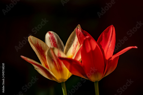 Fototapety, obrazy: Red and yellow tulips on black background