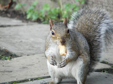 Close-up Of Squirrel Eating Peanut On Footpath