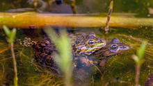 Two Pool Frogs (Pelophylax Les...
