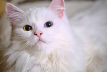 A White Cat And A Kitten Are L...