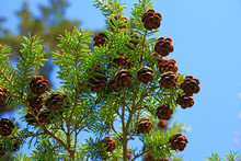 Small Pinecones On Branches Of...