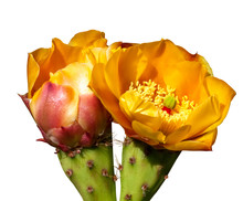 Two Prickly Pear Cactus Flower...