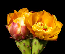 Two Prickly Pear Cactus Flowers Closeup On A Black Background