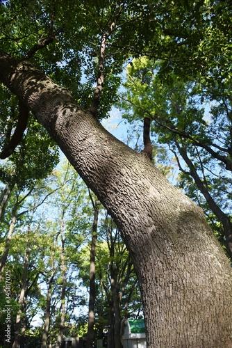 Camphor tree bark and leaves / Lauraceae evergreen tall tree Tapéta, Fotótapéta